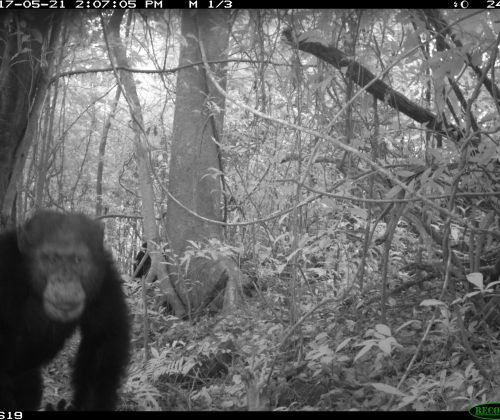 Camera Trap Chimp