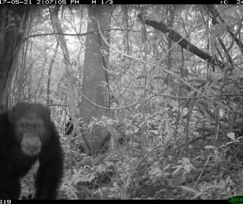 Camera Trap Chimp