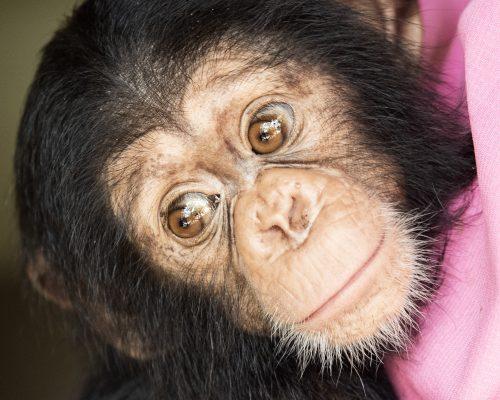 Picture of Caesar the chimp