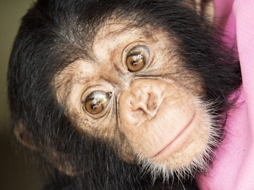 Picture of Caesar the chimp